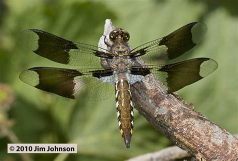 photos of the dragonfly plathemis lydia common whitetail