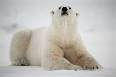 Bears White why are polar bears white wonderopolis
