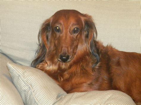 dachshund puppy rescue dachshund rescue groups breeds picture