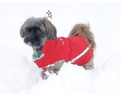 shih tzu dresses boris dress up shih tzu web