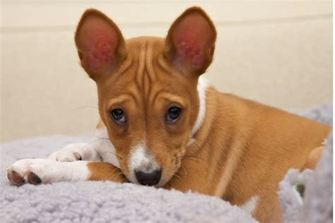 basenji puppies price basenji puppies for sale and from rescue organizations
