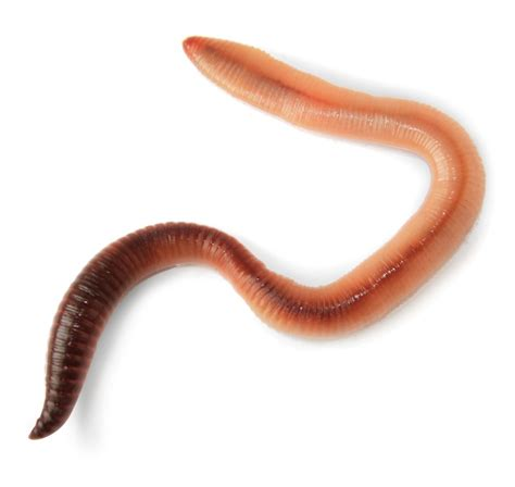 worms in opinions on worm