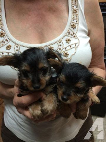 yorkie puppies for sale in denton tx yorkie pupies for sale in denton classified americanlisted