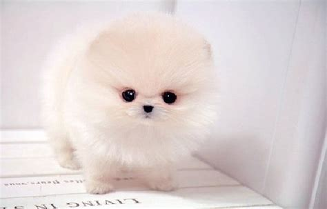 micro mini pomeranian micro mini pomeranian animals i don t