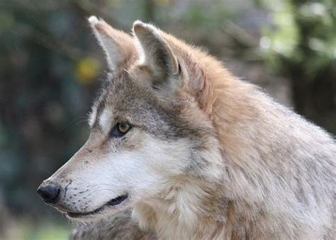 wolf breeds list mexican wolf endangered species list draws ire