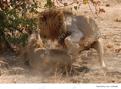 african mating ritualsvideos lion mating ritual stock picture i1509949 at featurepics
