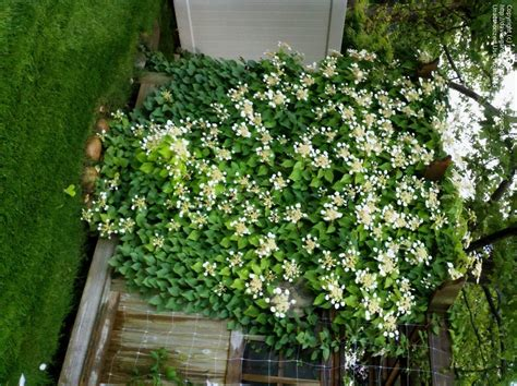 plantfiles pictures japanese climbing hydrangea - Asian Climbing Plant