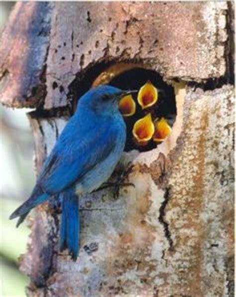 1000 images about bluebirds bluebird mountain western
