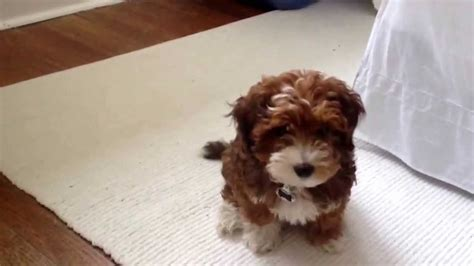 pics of a yorkie poo yorkie poo brown www pixshark images galleries with a bite
