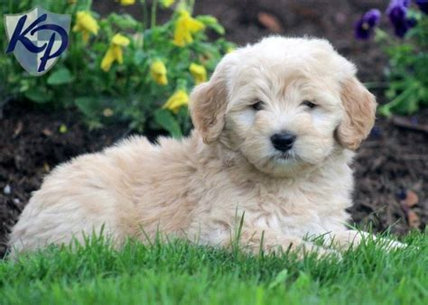mini doodle alberta 17 best images about goldendoodles on poodles