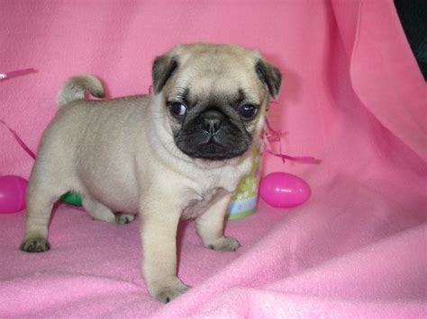 grown pugs pug puppies breeds picture