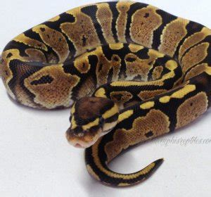 ball python bedding ball python bedding pythons review