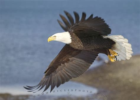 birds of north america bald eagle