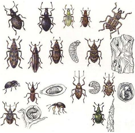 coleotteri volanti classificazione semplificata degli insetti