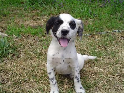 what does a setter dog look like cocker spaniel border collie mix really it looks like an