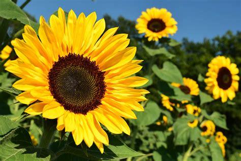 fiori girasole girasol la maravillosa planta de tu jard 237 n que mira al