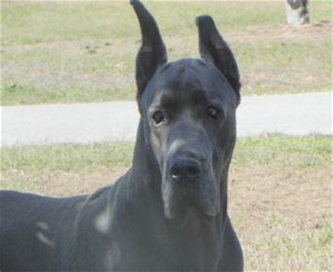 black great dane puppies highlands great danes blue great dane puppies for sale black great dane puppies for