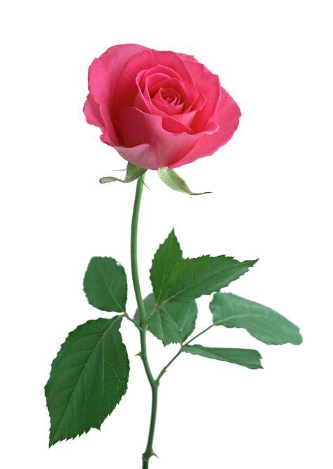 Stem Roses by Stem Www Uniquesochic Unique So Chic Clipart