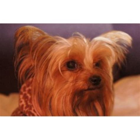yorkies for sale ga teacup yorkie poo ga breeds picture