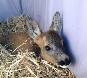 rescue scotlands wildlife 24hr injured wildlife