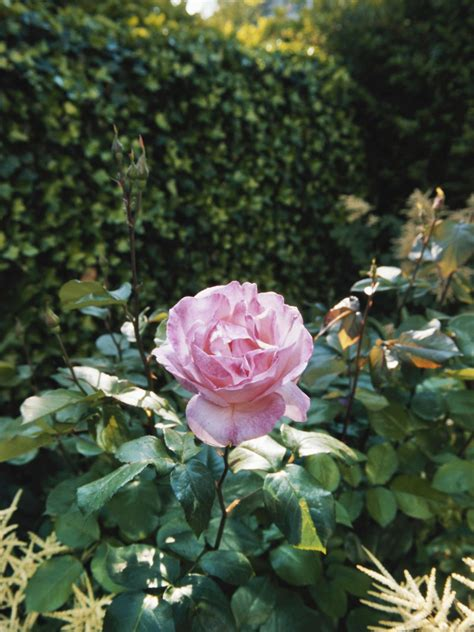growing groundcover roses hgtv