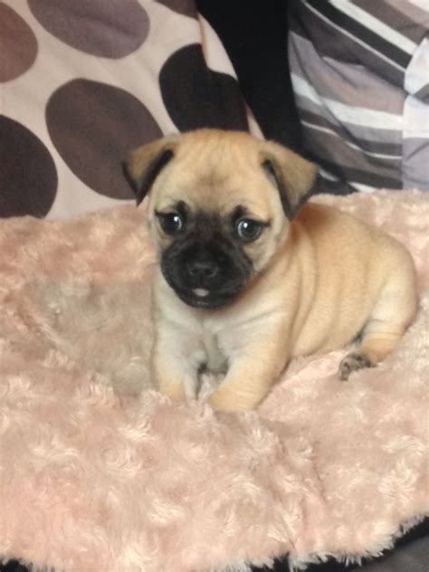 chiwawa pug pug cross with a chihuahua ormskirk lancashire pets4homes