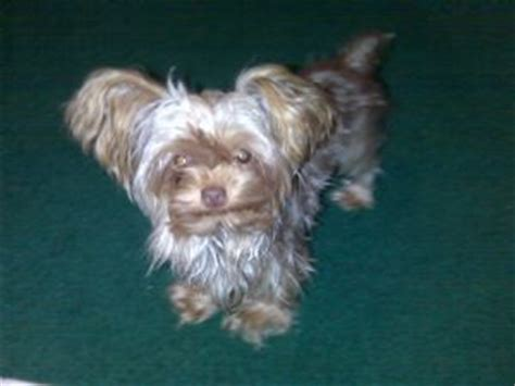 yorkie puppies for sale in salem oregon terrier puppies for sale