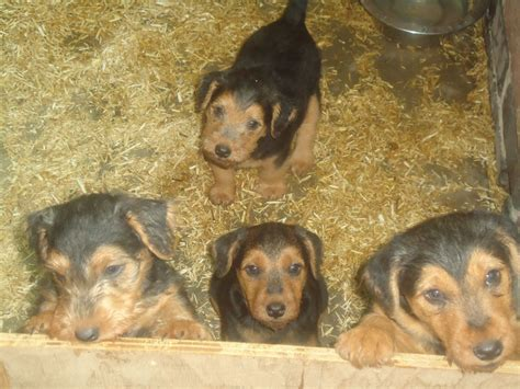 terrier puppies for sale lakeland terrier puppies for sale ilkeston derbyshire pets4homes