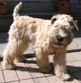 Soft Coated Wheaten Terrier Shedding by Soft Coated Wheaten Terrier