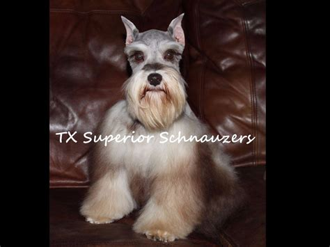 akc miniature schnauzer puppies for sale in nc miniature schnauzer puppies for sale akc marketplace