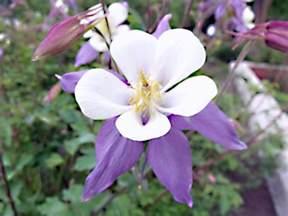 panoramio photo of colorado columbine state flower