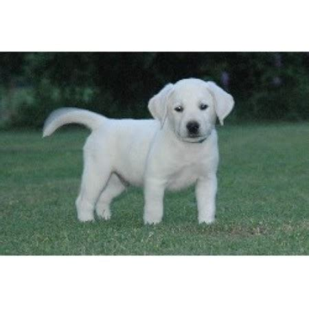 lab puppies for sale in central illinois corter s labs labrador retriever breeder in linden