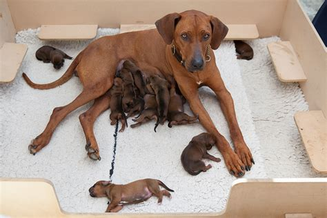 ridgeback puppies rhodesian ridgeback photos pictures rhodesian ridgebacks page 4 breeds picture