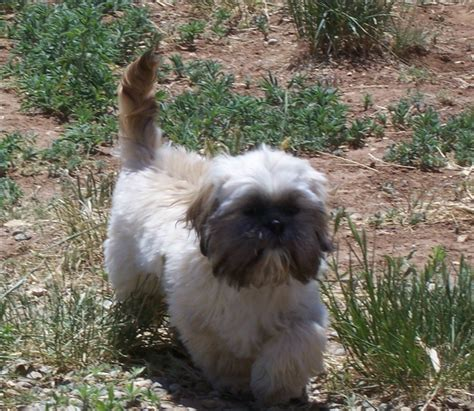 how big can a shih tzu get what is the difference between lhasa apso shih tzu breeds ehow