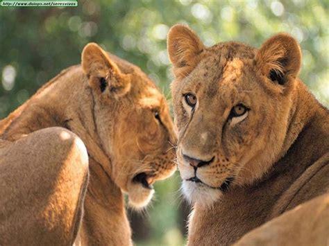 imagenes de leones felises fotos de leones i