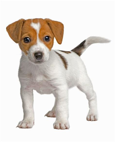 russel puppy terrier breed information noah s dogs
