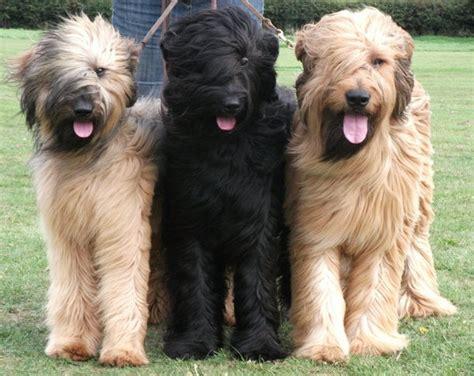 Briard Shedding by Briard Dogs