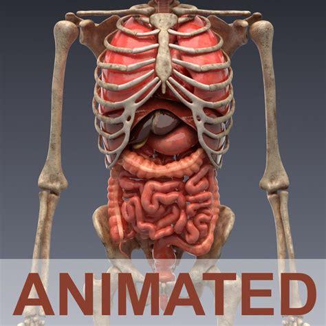 anatomy organs human anatomy animated skeleton and organs 3d model cgstudio
