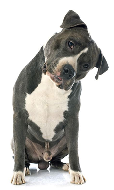 best pitbull puppy food the best food for pitbull top foods for you to try out jerusalem post