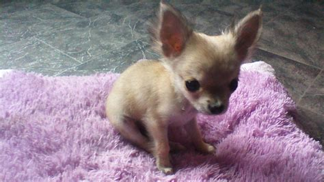 tiny rescue micro tiny teacup chihuahua rescue breeds picture