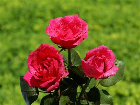 imagenes de rosas mas bellas del mundo image gallery las rosas mas lindas