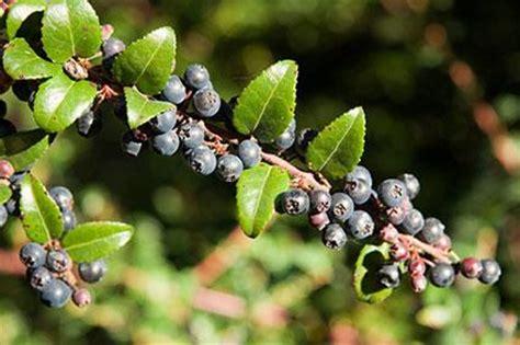 Huckleberry Fruit Pictures