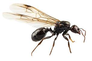 how to get rid of ants how to get rid of ants