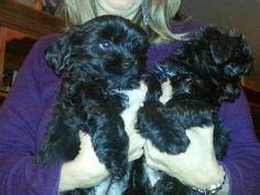 ebay classifieds yorkie black yorkie poo wallpapers animals puppy pictures pictures and yorkie