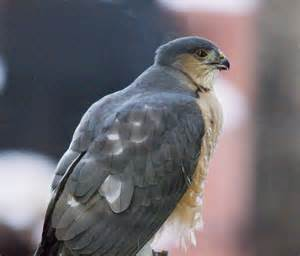 sharp shinned hawk 301 moved permanently