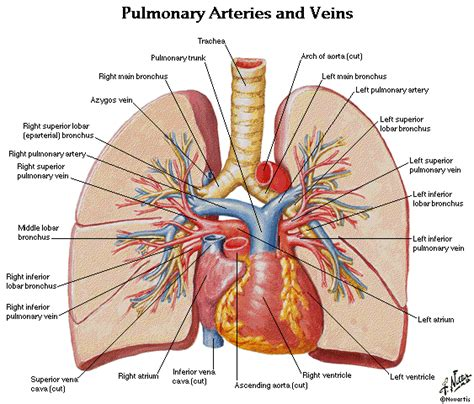 the human lungs diagram so what you re saying is tracyrad