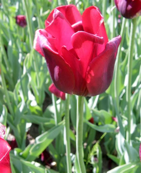 garten tulpe bastogne