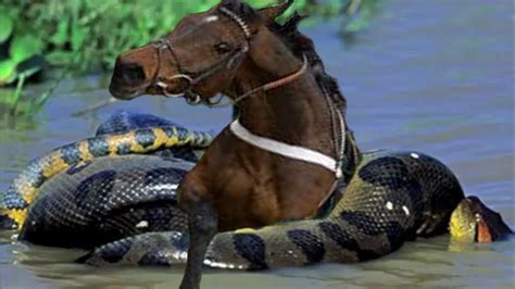 imagenes anacondas reales caballo vs anaconda anacondas gigantes reales anacondas