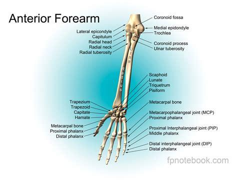 anatomy bones wrist anatomy