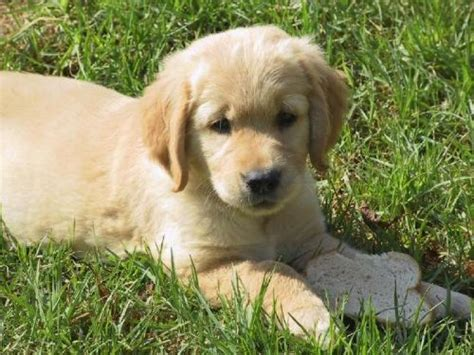 venta de golden retriever en guayaquil cachorros de golden retriever